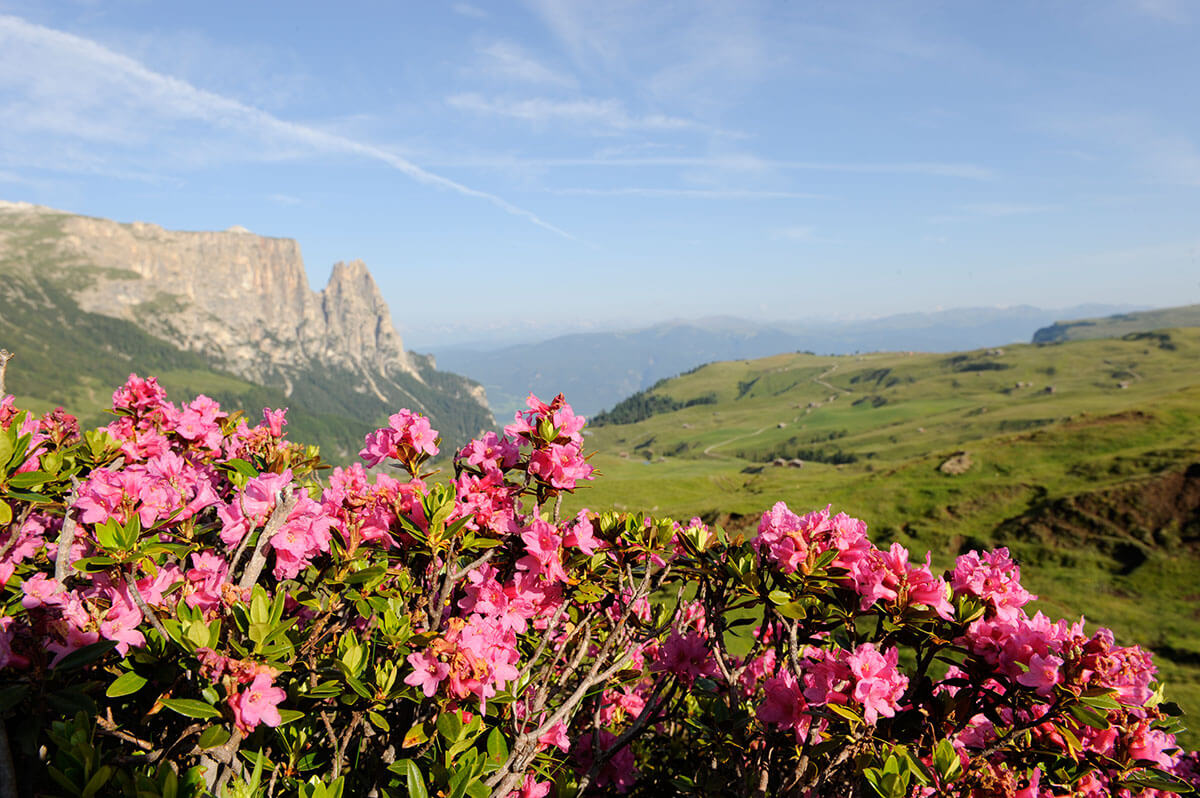 The famous Alpine roses on the Seiser Alm